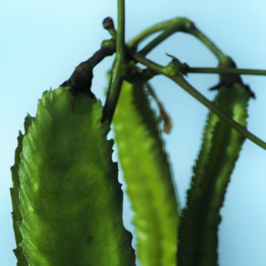 Flügelbohne<span>Gemüse & Co</span>