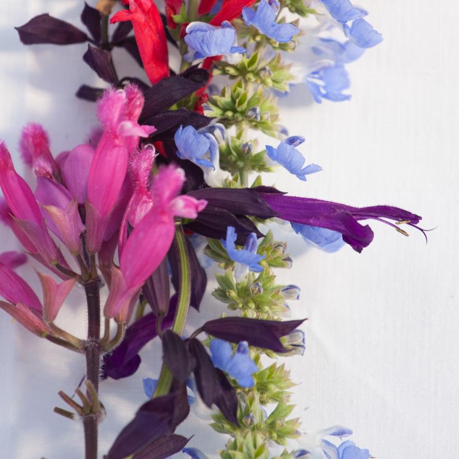 Salbei<span>Kräuter & Blumen</span>