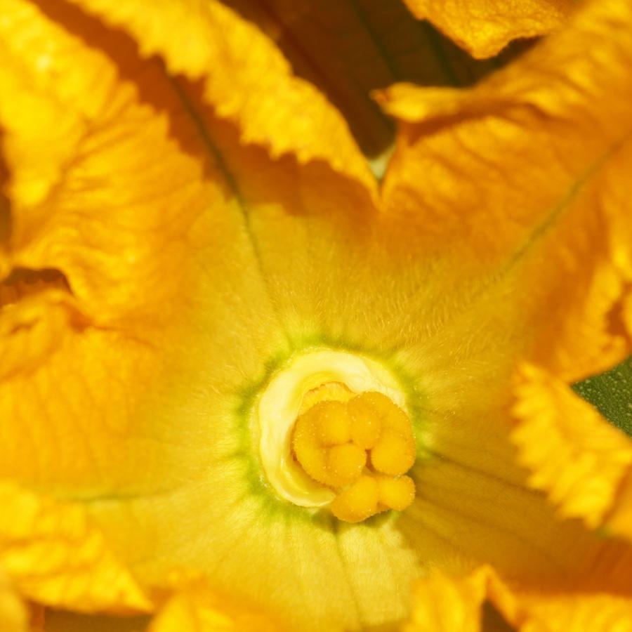Zucchiniblüte<span>Gemüse & Co</span>